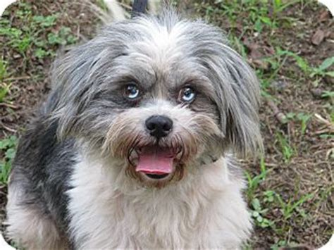shih tzu puppies albany ny 65 best images about adopt a pet on connecticut australian shepherd mix