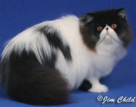 Sho Kucing Anggora kucing 5 ganesha cattery with