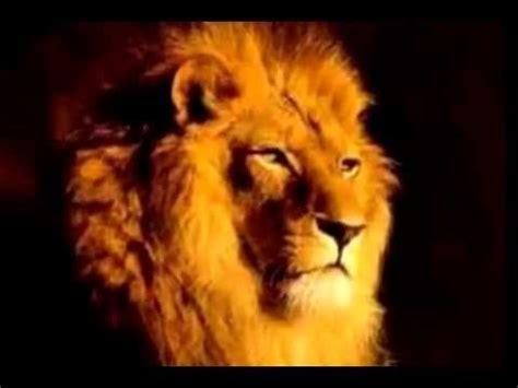 imagenes de leones salvajes leones salvajes youtube