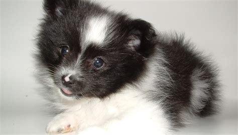 canile di pavia cuccioli cagnolini piccoli in regalo regalo cagnolini sandrigo vi
