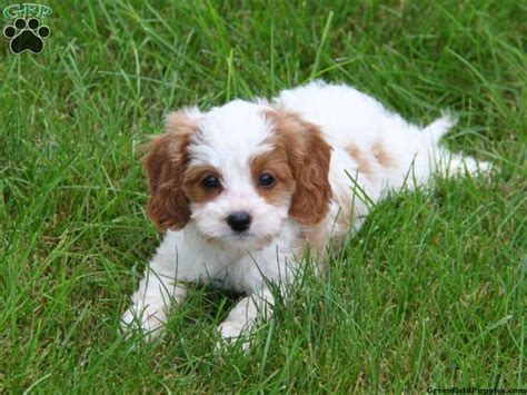 puppy apartment for sale 33 best cavoodle puppies images on cavapoo puppies poodle mix and