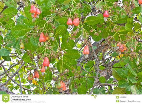 cashew nut fruit tree cashew nuts growing on a tree stock photo image 39558702