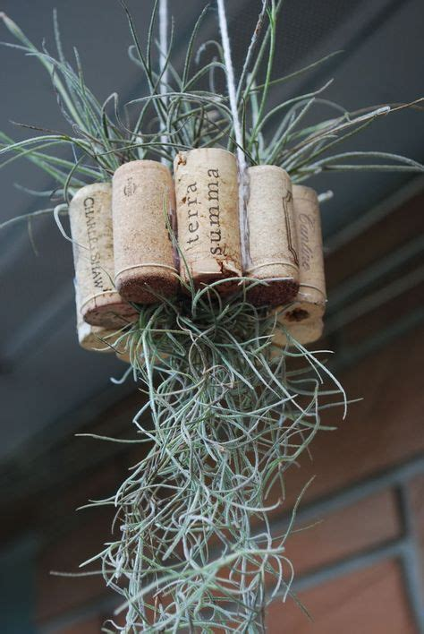hanging air plant best 25 hanging air plants ideas only on