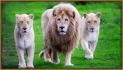 imagenes de leones leones blancos www imgkid com the image kid has it