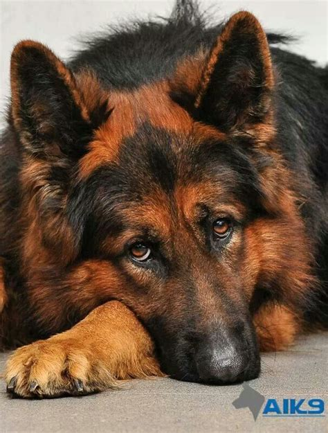 Sikes by Red And Black German Shepherd Animals Pinterest