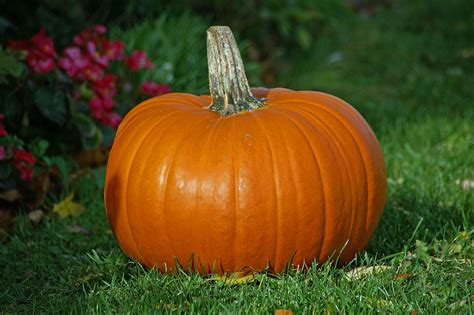 image of pumpkin file pumpkin jpg wikimedia commons