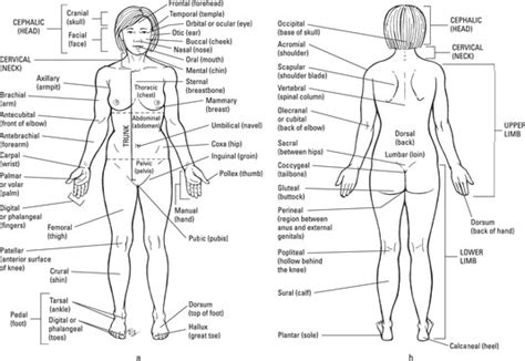 public area in body parts the anatomical regions of the body dummies