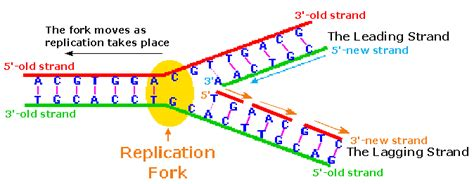 dna replication diagram dna fork diagram image collections how to guide and refrence