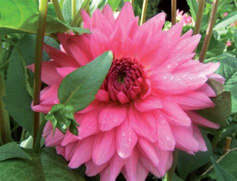 fiori dalie giardinaggio dalie fiori estivi fra storia e curiosit 224