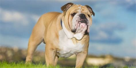 bulldog inglese alimentazione bulldog inglese caratteristiche carattere prezzo cure