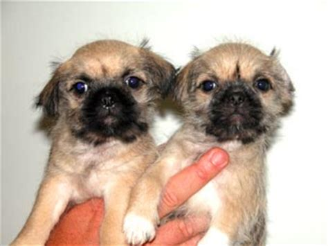 shih tzu pug mix puppies zu x pug for sale quotes