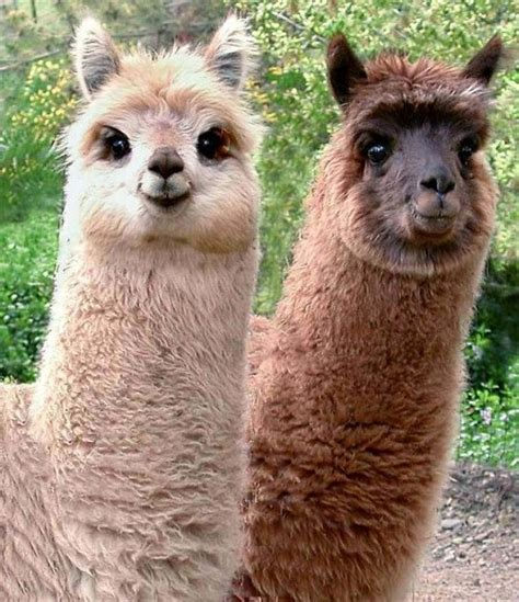 lua the llama and the mountain of books pipe farm beth christopher