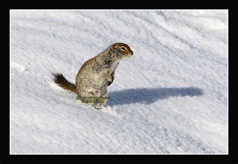 Bird And Squirrel Moon Stool White arctic ground squirrel in snow