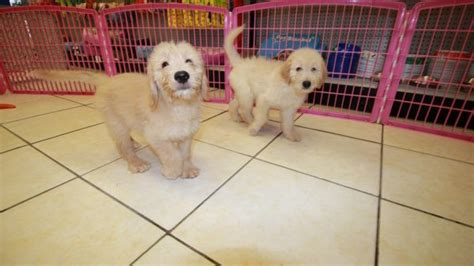 doodle puppies for sale in ga handsome golden doodle puppies for sale in at