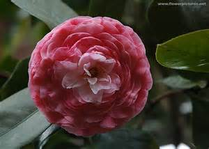 Spring Gardens camellia quot pink pagoda quot