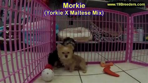 puppies for sale in bowling green ky morkie puppies dogs for sale in louisville kentucky ky 19breeders bowling