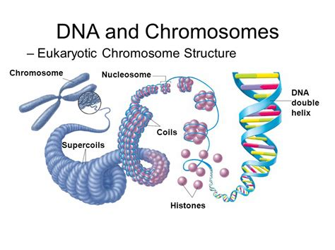 each human chromosome is replicated in about sections vocabulary key terms dna dna replication codon intron exon