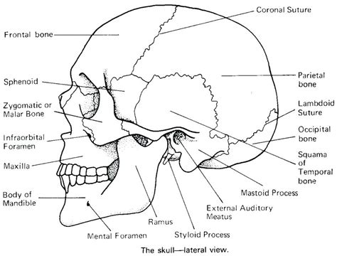 anatomy skull colouring pages anatomy skull coloring