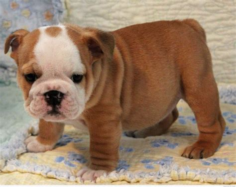 bulldog puppies for sale in pa 1000 ideas about bulldogs on olde bulldogge bulldogs