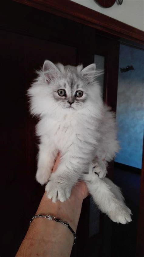 allevamento gatti persiani roma persiani chinchilla vendita gattino persiano a roma