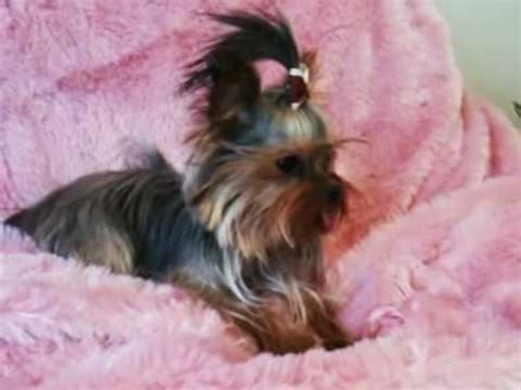 grown yorkies tiny teacup grown terrier