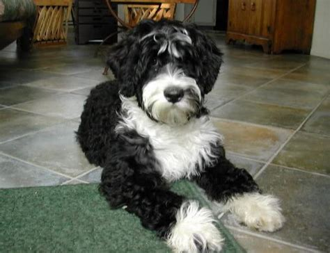 Hybrid Dogs That Don T Shed by Large Dogs That Dont Shed Jpg Breeds Picture