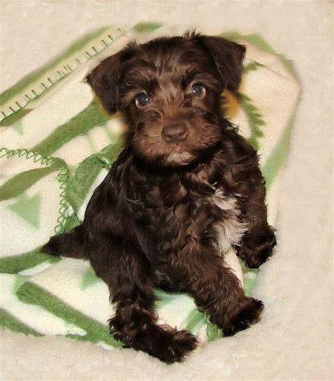 liver schnauzer puppies for sale miniature schnauzer smart and obedient miniatures chocolate and mini schnauzer