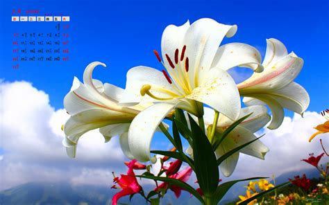 imagenes de flores lilis blancas 2014年8月日历壁纸清新脱俗纯洁百合花高清特写 日历壁纸 壁纸下载 美桌网