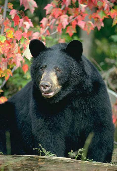 north american bear center why people fear bears north american bear center north american bear center