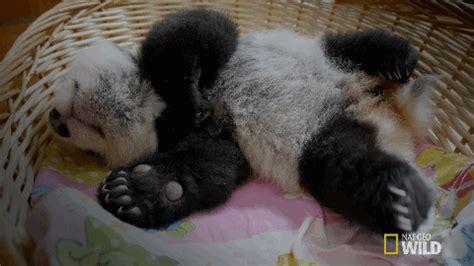 sleepy gif sleepy baby panda gif by nat geo find on giphy