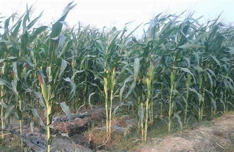 Benih Jagung Manis 8 cara mudah budidaya menanam jagung manis agar berbuah