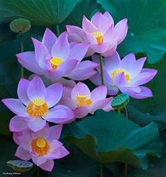 What Is The Lotus Flower Used For 25 Best Ideas About Lotus Flowers On Lotus