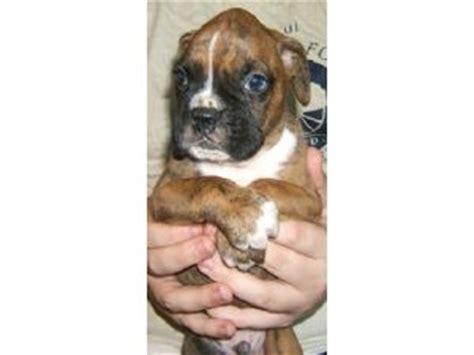 boxer puppies washington state boxer puppies in washington