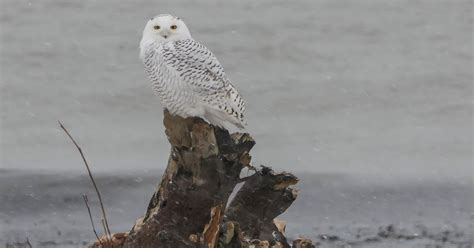 gale s photo and birding blog the snowy owl irruption