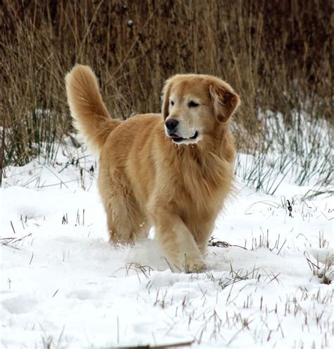 best dryer for golden retrievers 121 best images about golden retrievers on beautiful dogs your and search