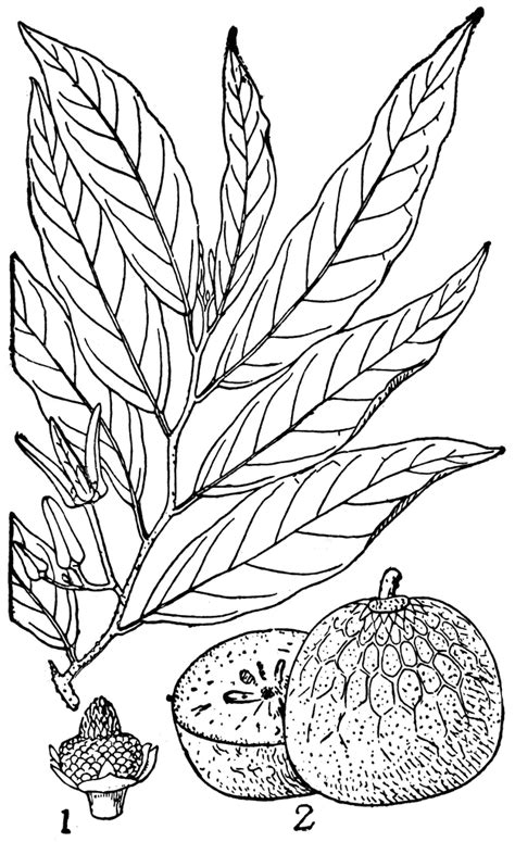 custard apple coloring page custard clipart free download clip art free clip art