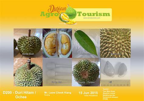durian duri hitam duriotourism durian lovers