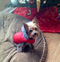 yorkie winter coats for my favorite on 18 photos on yorkie small