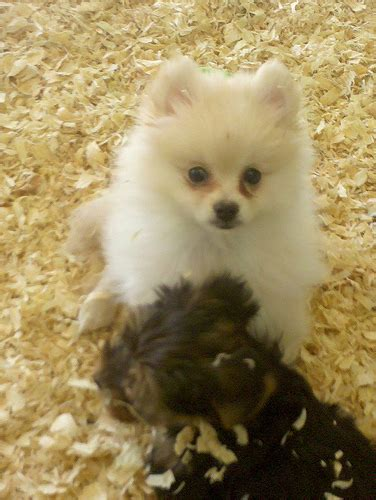 pomeranian pet store pomeranian in a pet store a pomeranian puppy f flickr photo