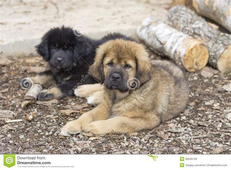 mastiff puppies for free two tibetan mastiff puppies royalty free stock images image 30549729