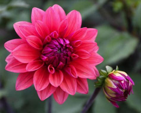 Bibit Bunga Dahlia cara menanam dan merawat bunga dahlia tanamania