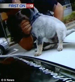 puppy concussion queensland charged with animal cruelty after he punched a puppy daily mail
