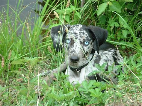 catahoula leopard puppies catahoula leopard memes