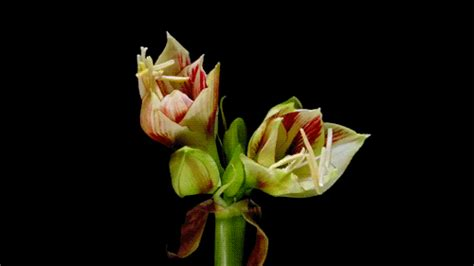fiori gif animate i fiori sbocciano perch 232 arriva la primavera le gif