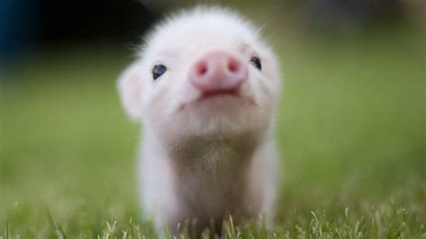 wallpaper cute pig cute pig wallpapers wallpaper cave