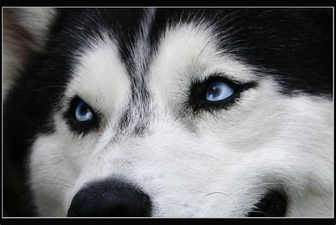 husky wallpaper blue eyes blue eyes of husky by platinumgirl on deviantart