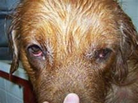 golden retriever digestive problems golden retriever with allergies or yeast nzymes