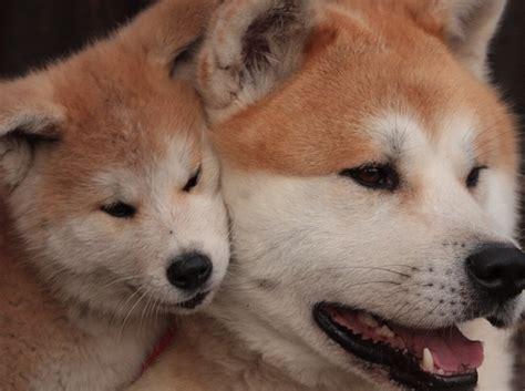 japanese akita japanese akita puppy akita inu breed