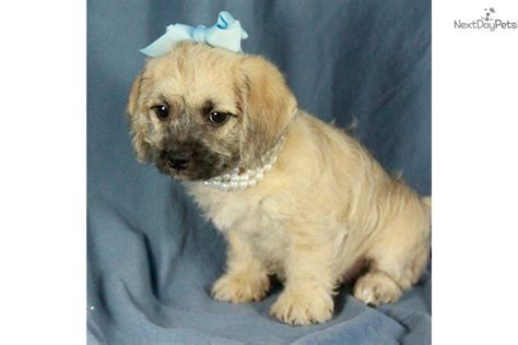 pug puppies for sale tulsa ok pugapoo puppy for sale near tulsa oklahoma 310ba416 e5d1
