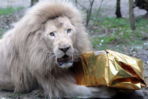 imagenes impactantes navidad animales de zoo de francia reciben regalos por navidad